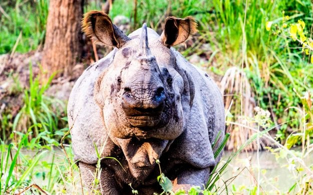 A one-horned rhinoceros in Chitwan National Park, Nepal
