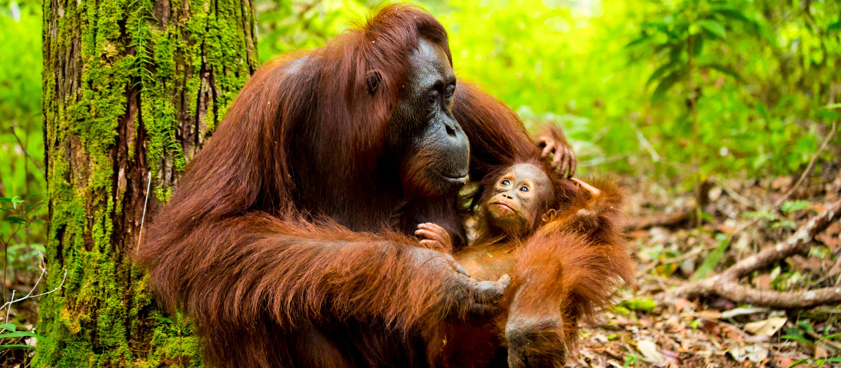 Mother and baby orangutan in Indonesia