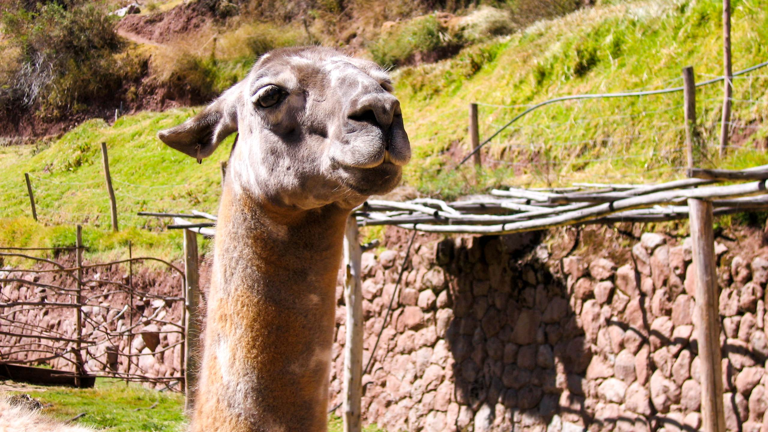 Close up of Peru alpaca