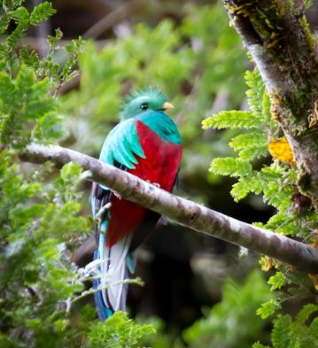 Say goodbye to the rainforest. (Resplendent Quetzal by Alex Arias)