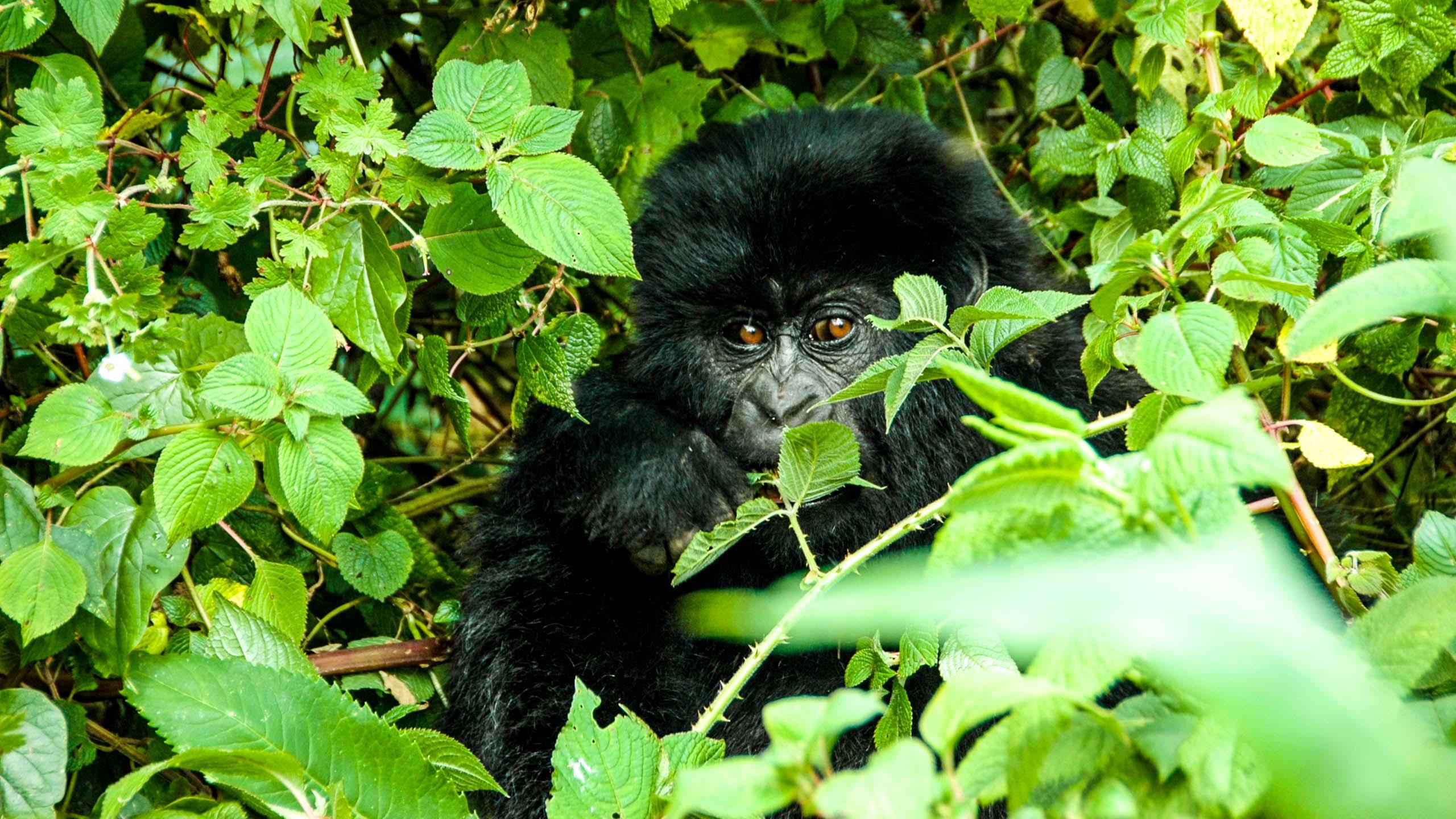 Gorilla looks through leaves in Rwanda jungle