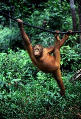 Sepilok Orangutan.