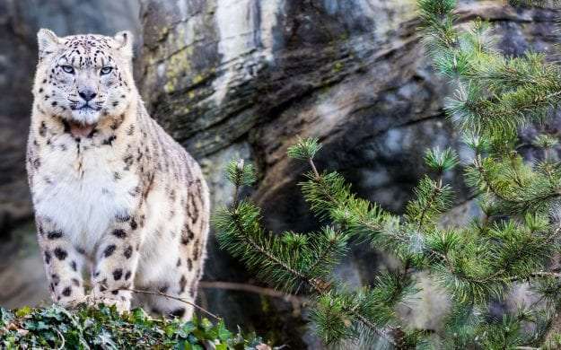 Snow leopard stand on rocky outcrop in forest