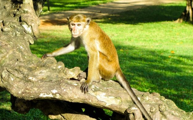 Monkey sits on branch in Sri Lanka