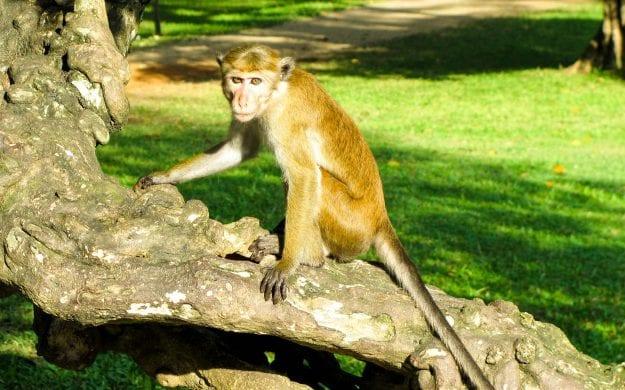 Monkey sits on branch in Sri Lanka