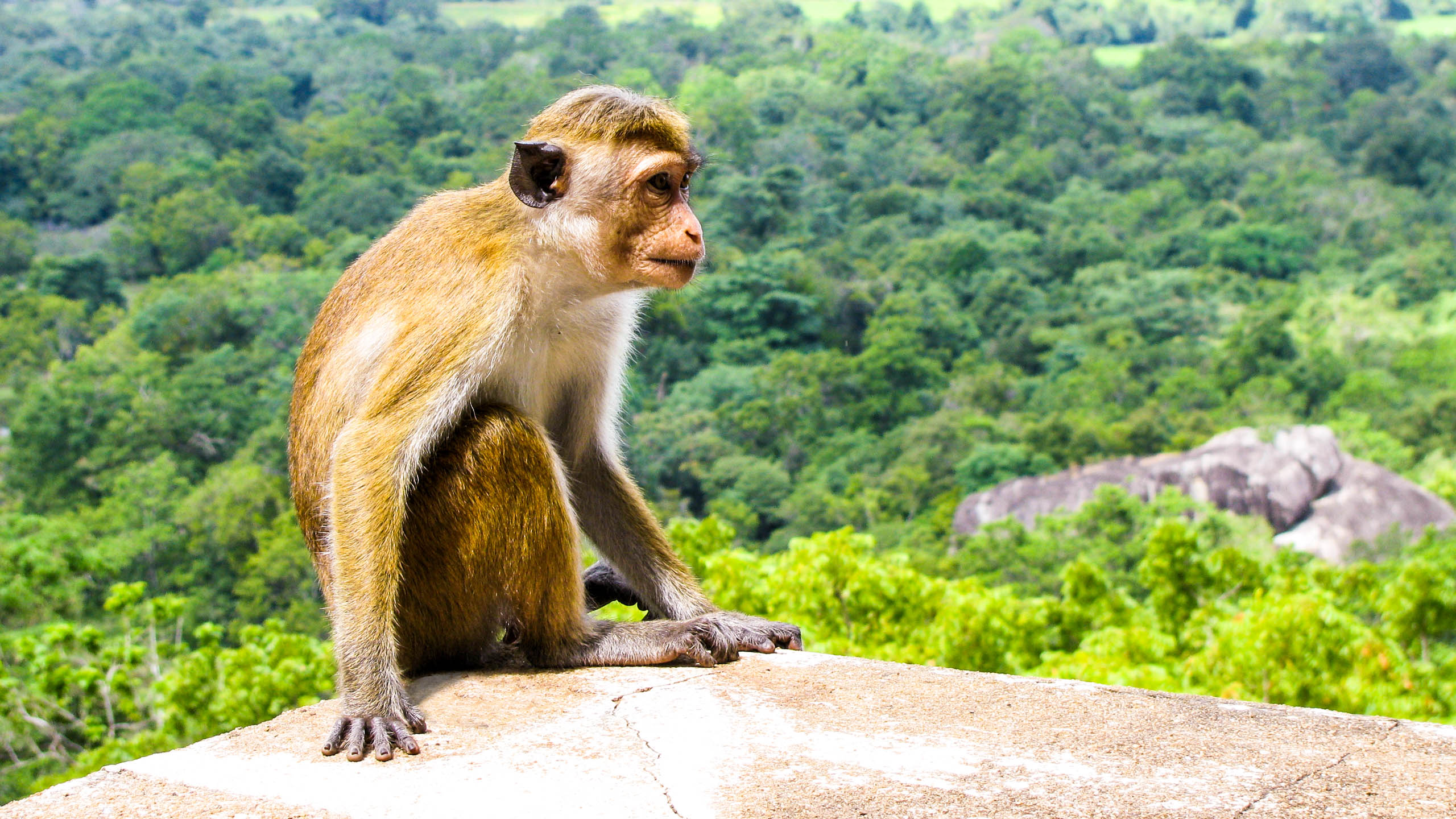 Monkey sitting on rock in Sri Lanka