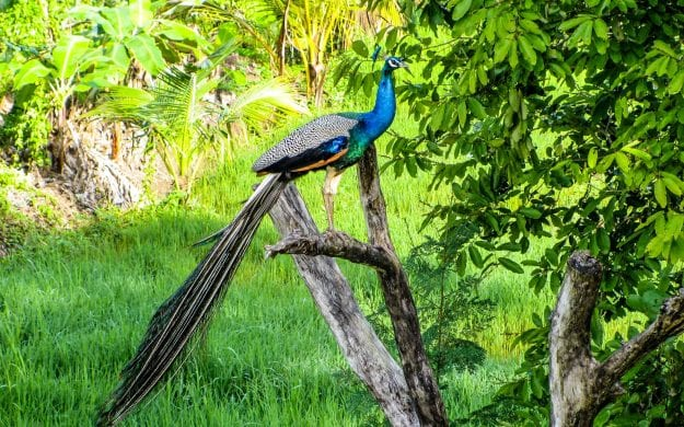Peacock sits on branch in Sri Lanka
