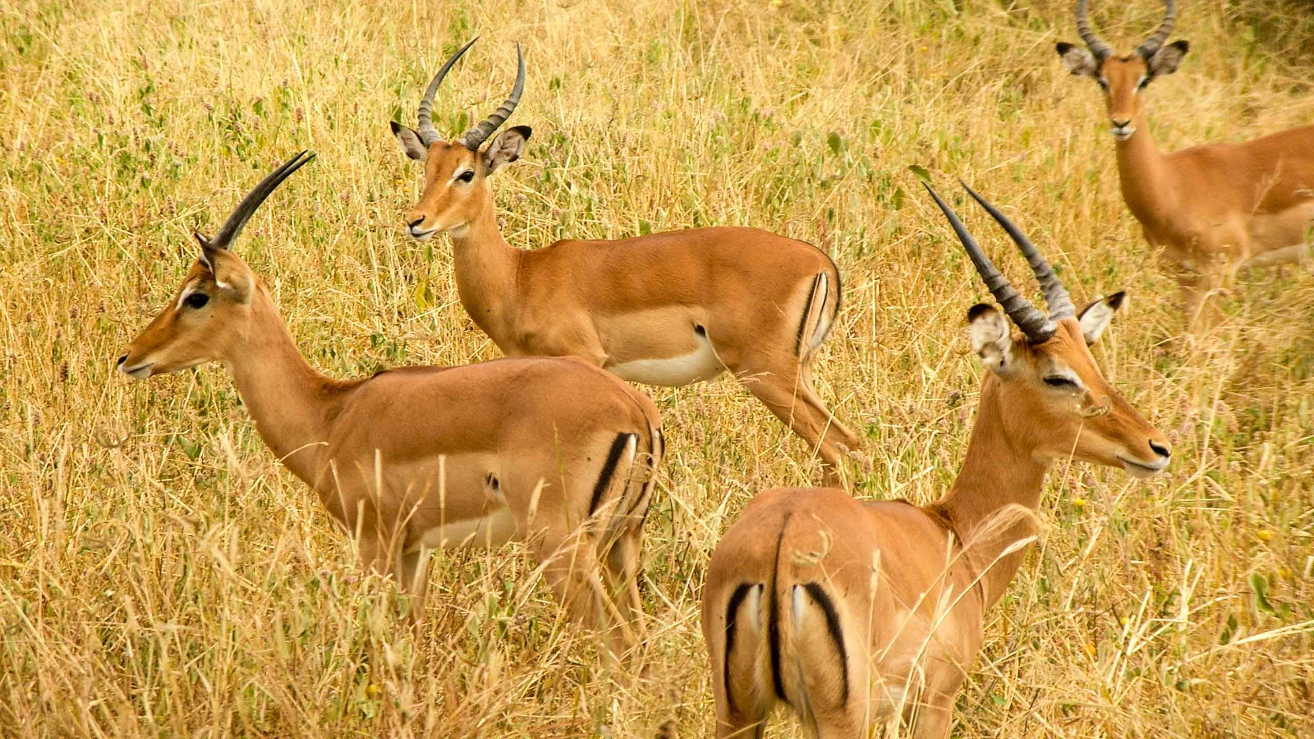 Tanzania antelope herd