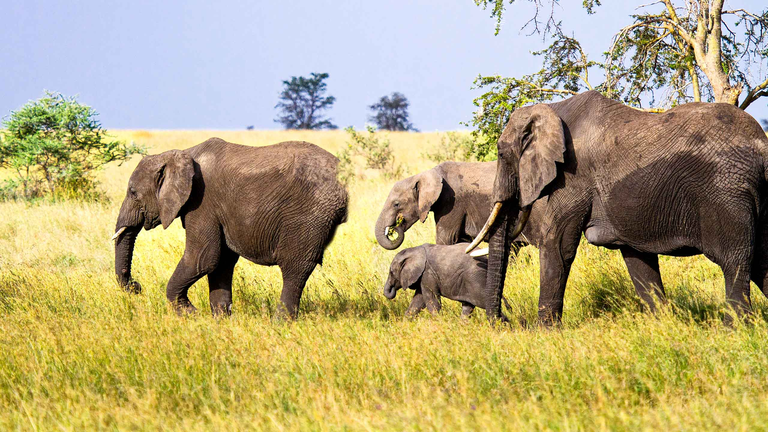 Elephant group walking in Tanzania