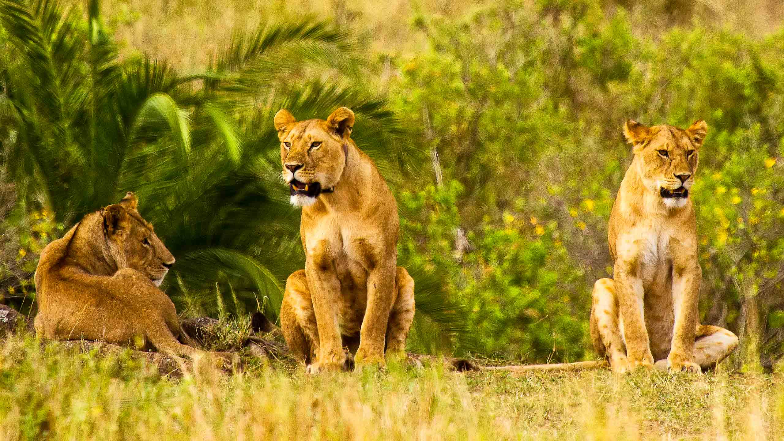 Three lions lounging in Tanzania