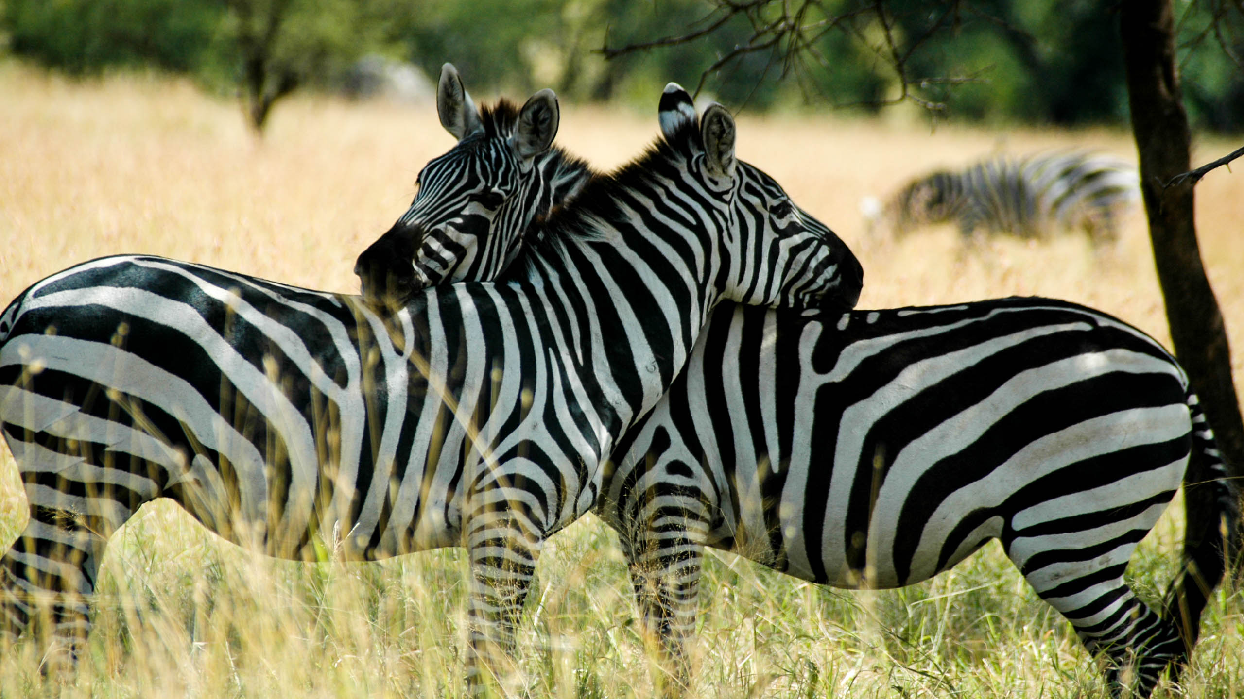 Tanzania zebras crossing necks