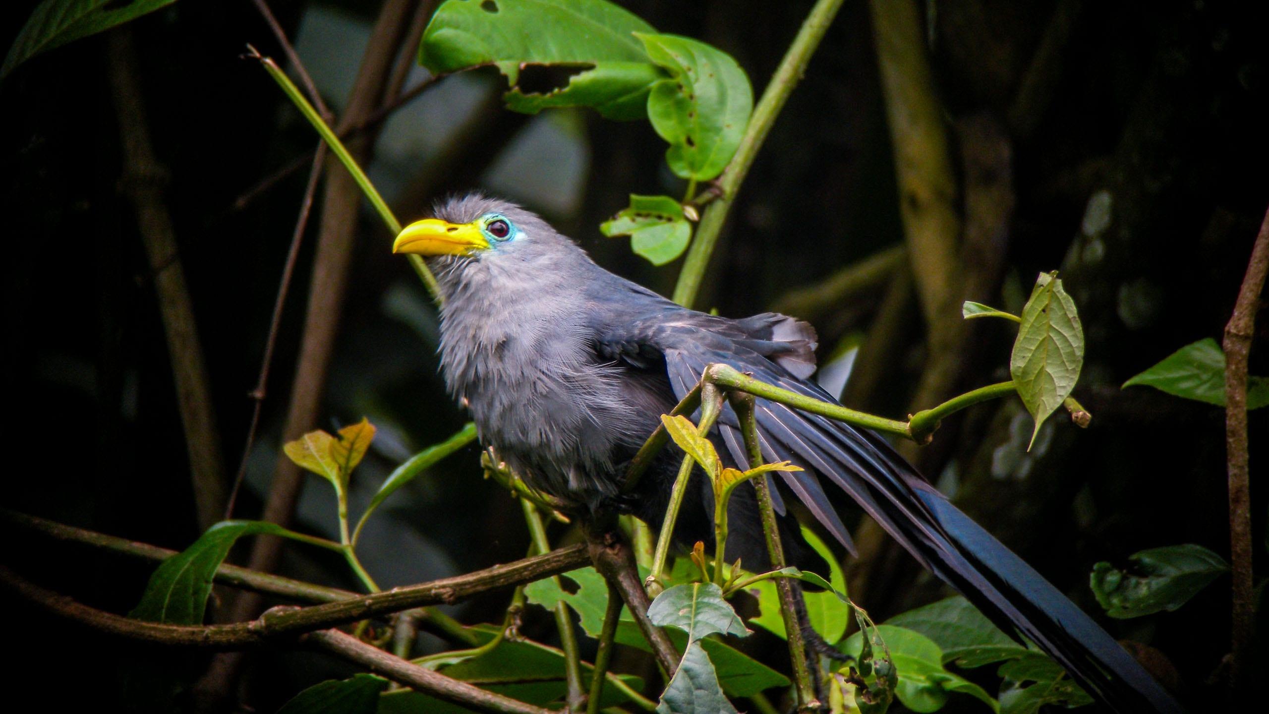 Gray bird sits in tree in Uganda