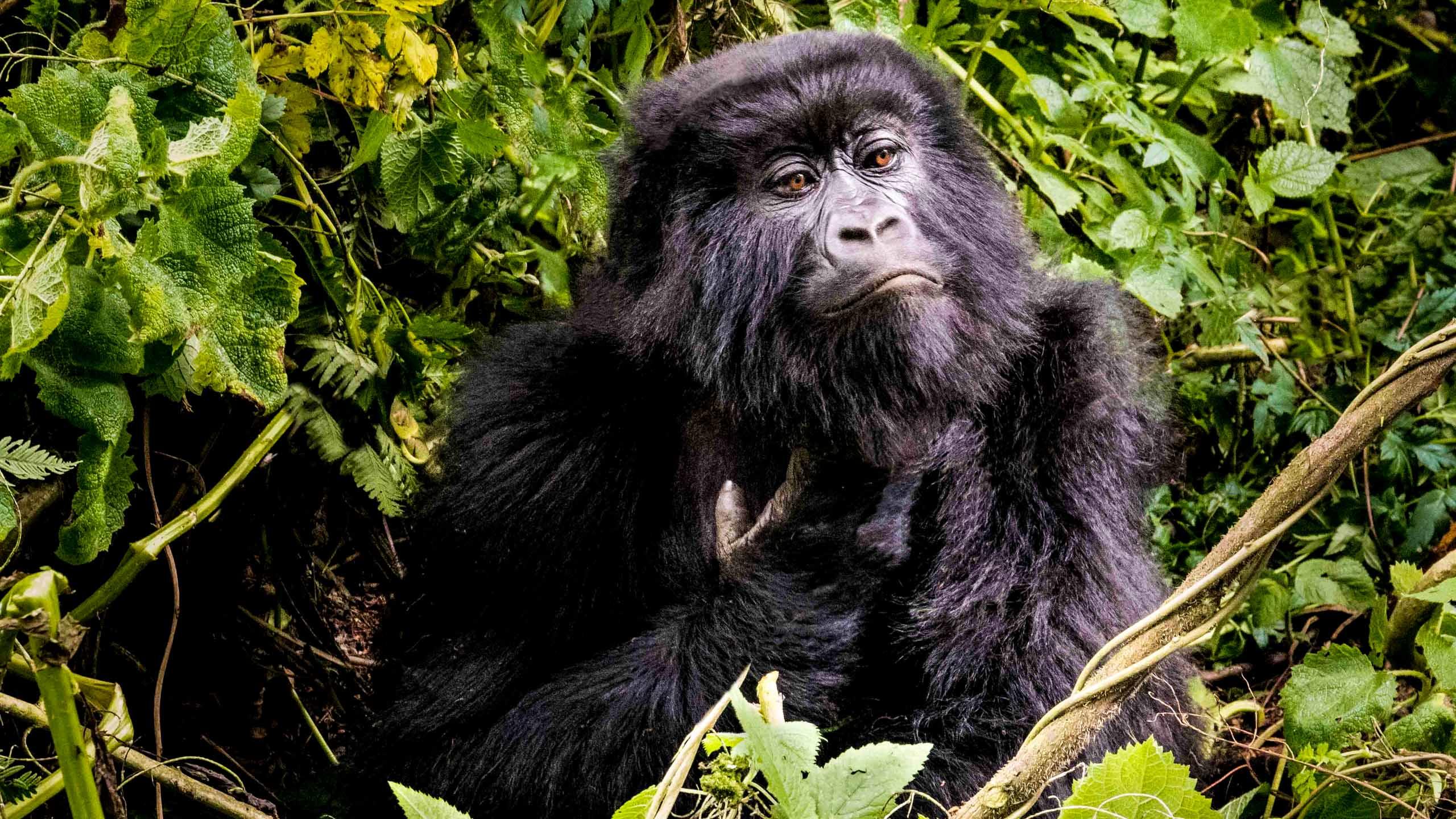Gorilla in Uganda forest