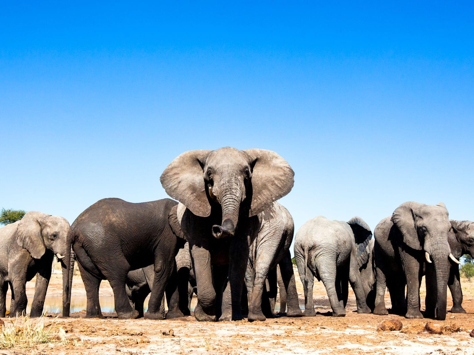 Group of elephants in the desert