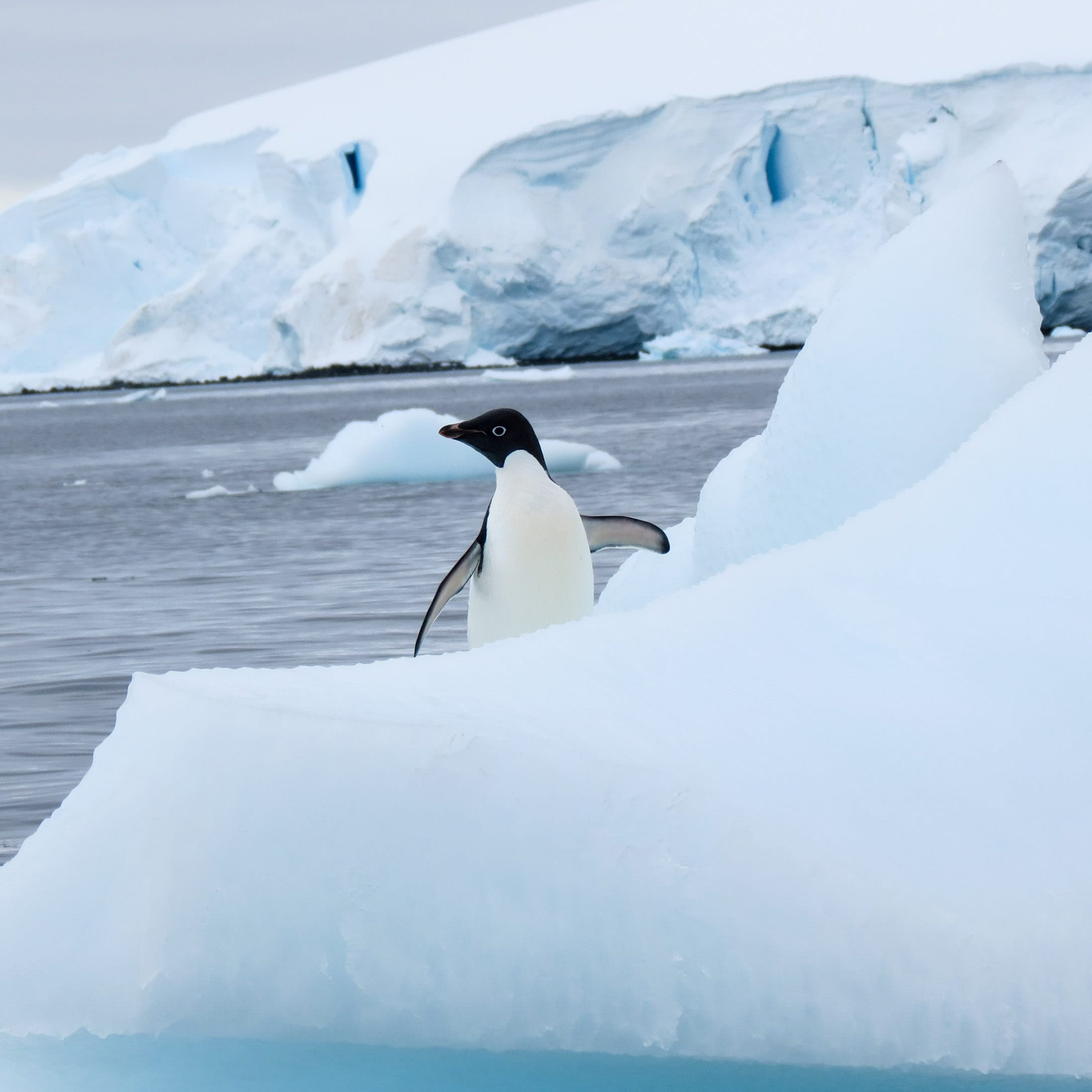 Penguin sits on iceberg with wings out in Antarctica