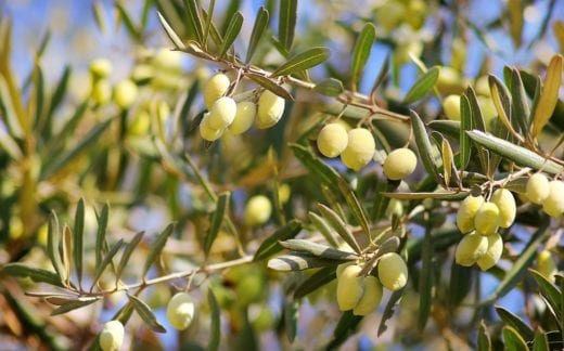 olives growing in orchard
