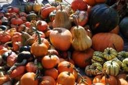A bountiful pumpkin harvest