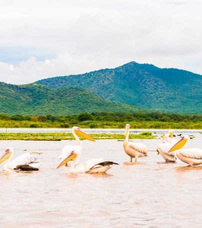 Pelicans at Lake Chamo, Ethiopia