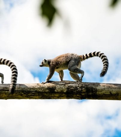 Three lemurs run along a branch