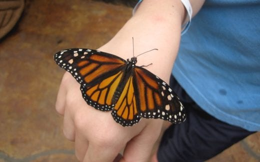 Monarch butterfly on kid's hand