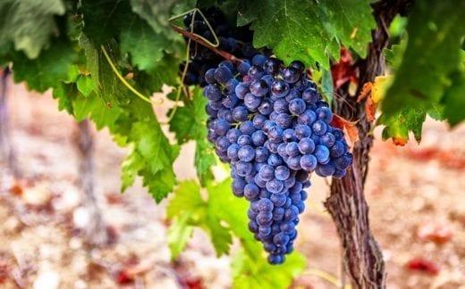 Grapes in a vineyard, La Rioja. Spain