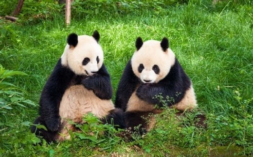 Two Great Pandas playing together