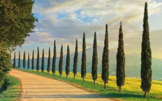 Cypress trees in Tuscany, Italy