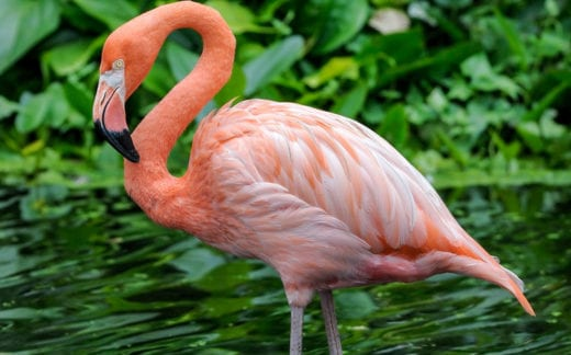 Flamingo cleaning his feathers