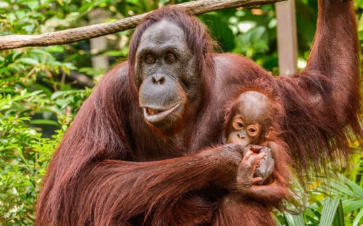 Female Orangutan with a cub