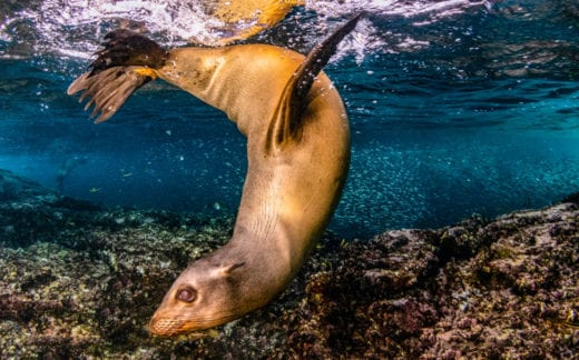 Sea lion underwater in Baja, Mexico.