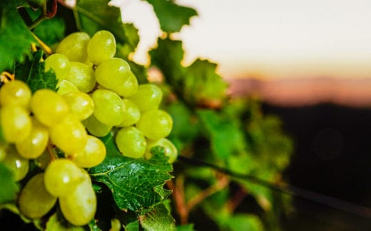 White grapes glowing on the vine, almost ready for harvesting in this Western Cape vineyard in South Africa.